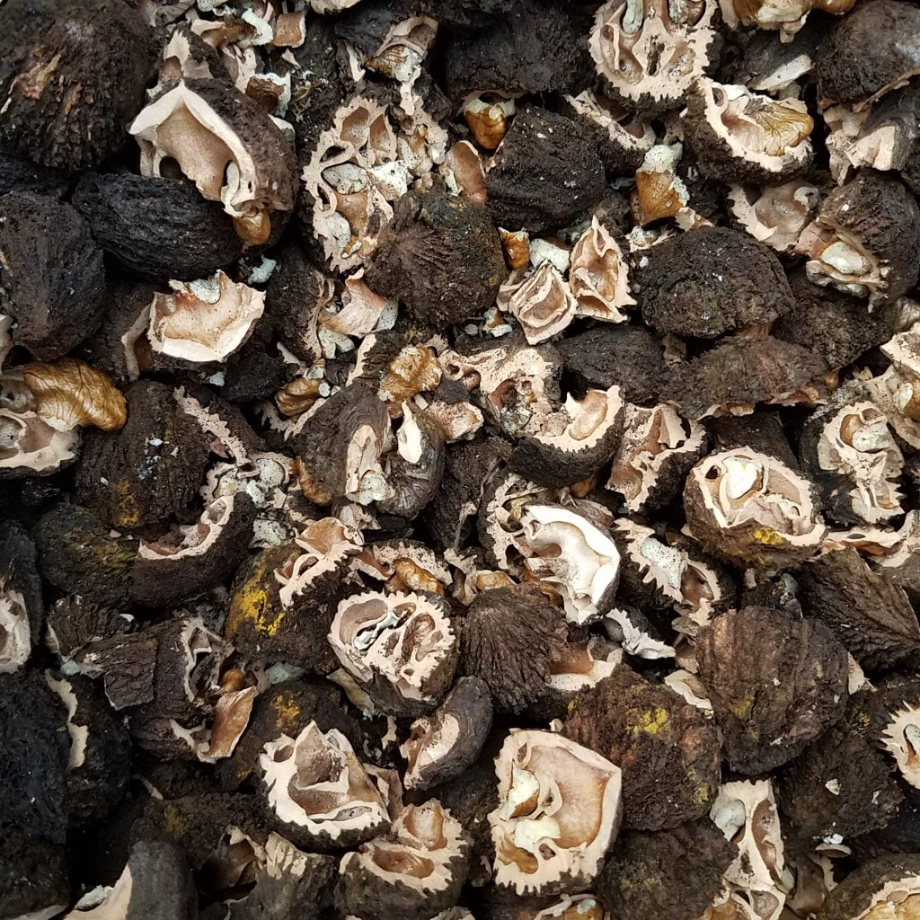 Black walnuts shells and meat all mixed together