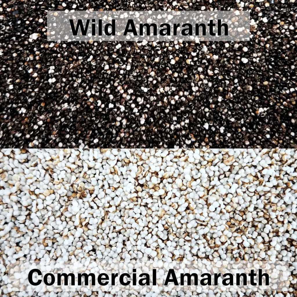 Results of popping wild amaranth (above) with cultivated, commercial amaranth (below)