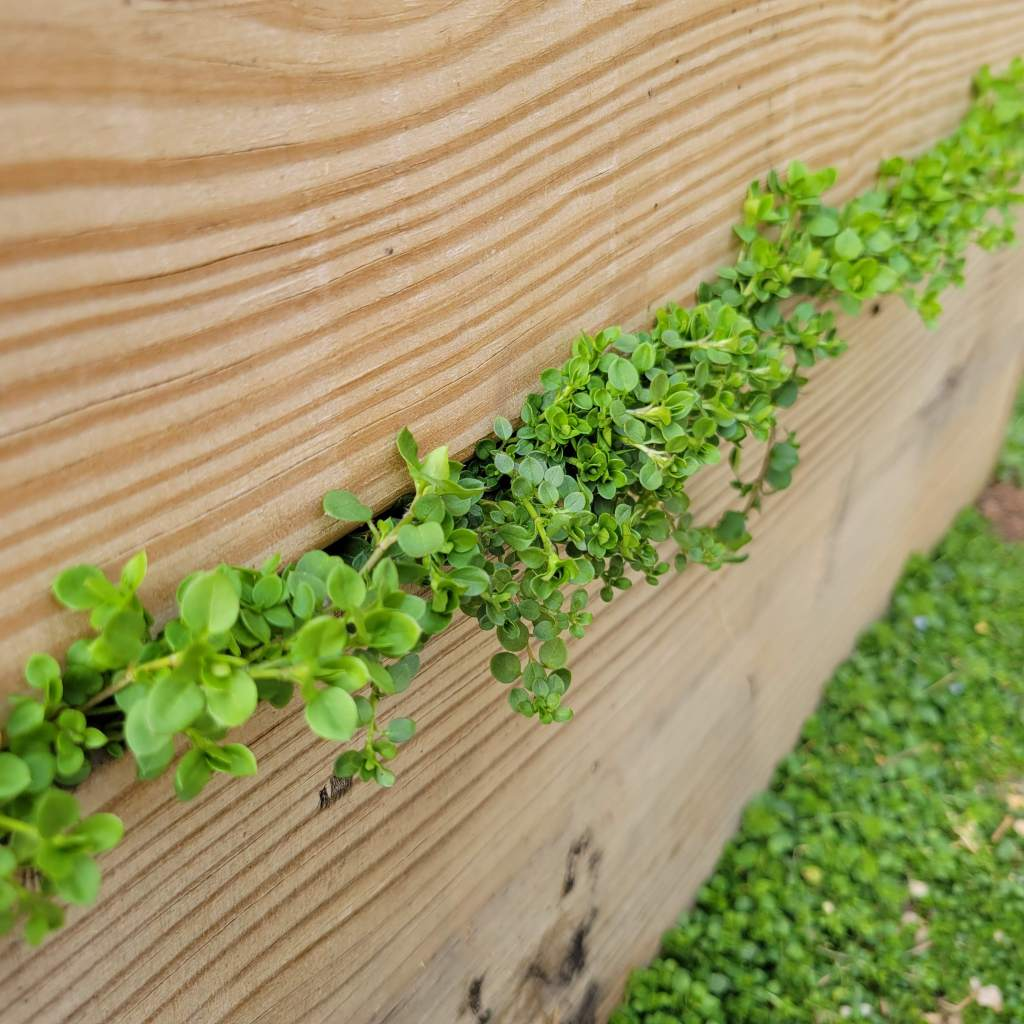 Chickweed grows almost everywhere... even between the boards of a double-decker garden bed!
