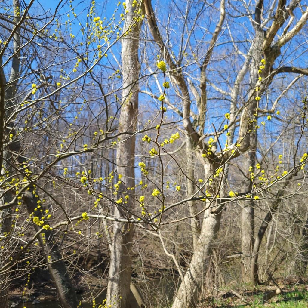 Spicebush in bloom