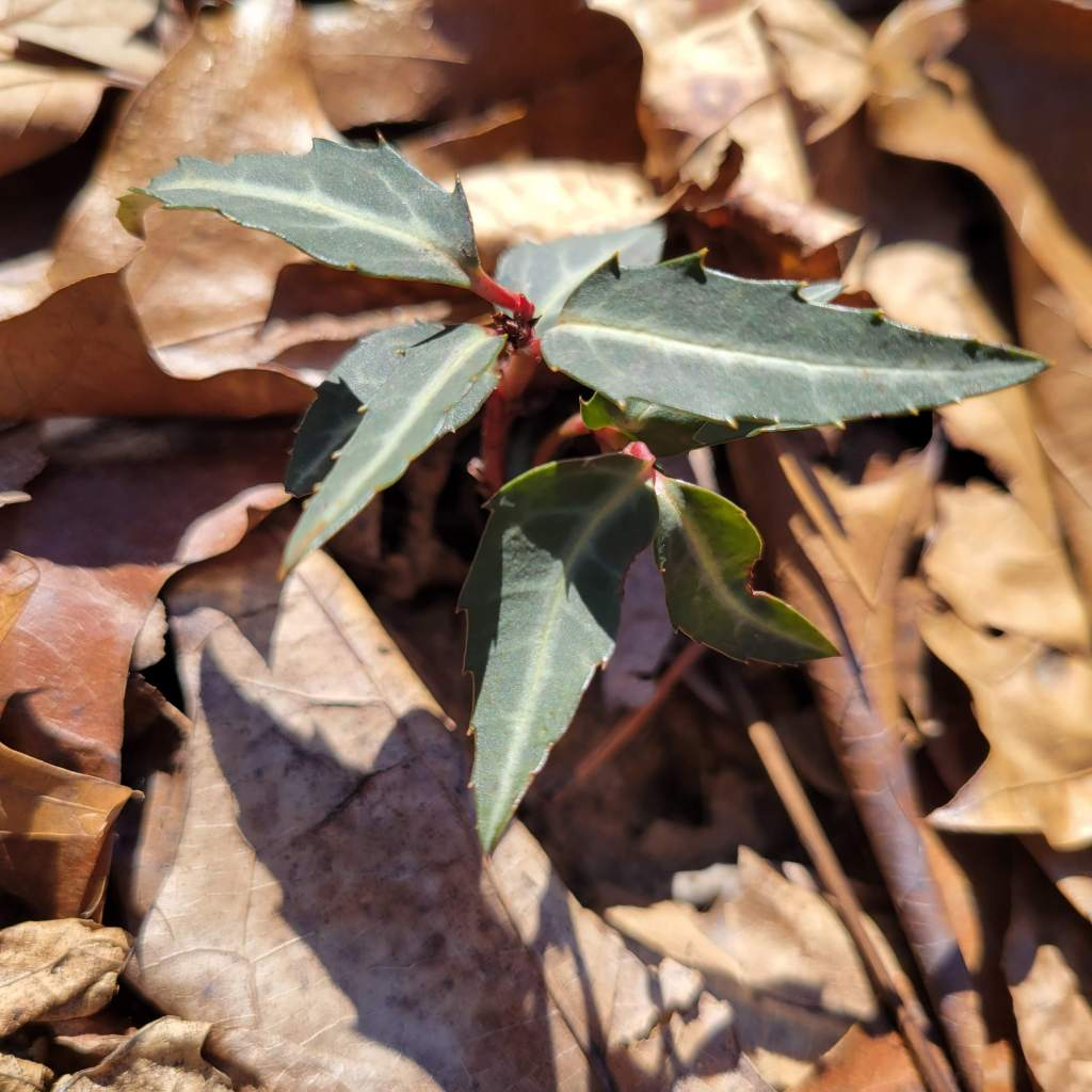 Spotted wintergreen in late winter