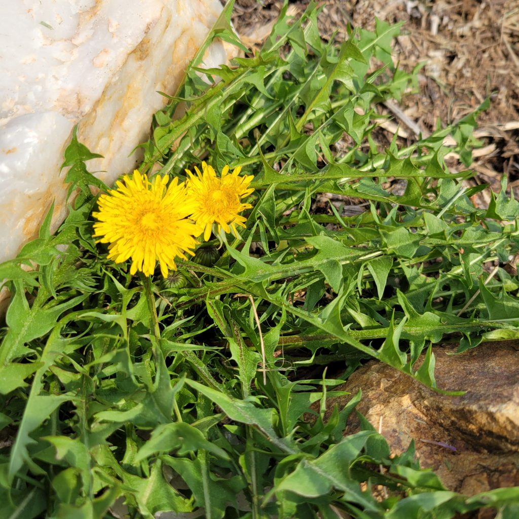 Dandelions are just starting to bloom