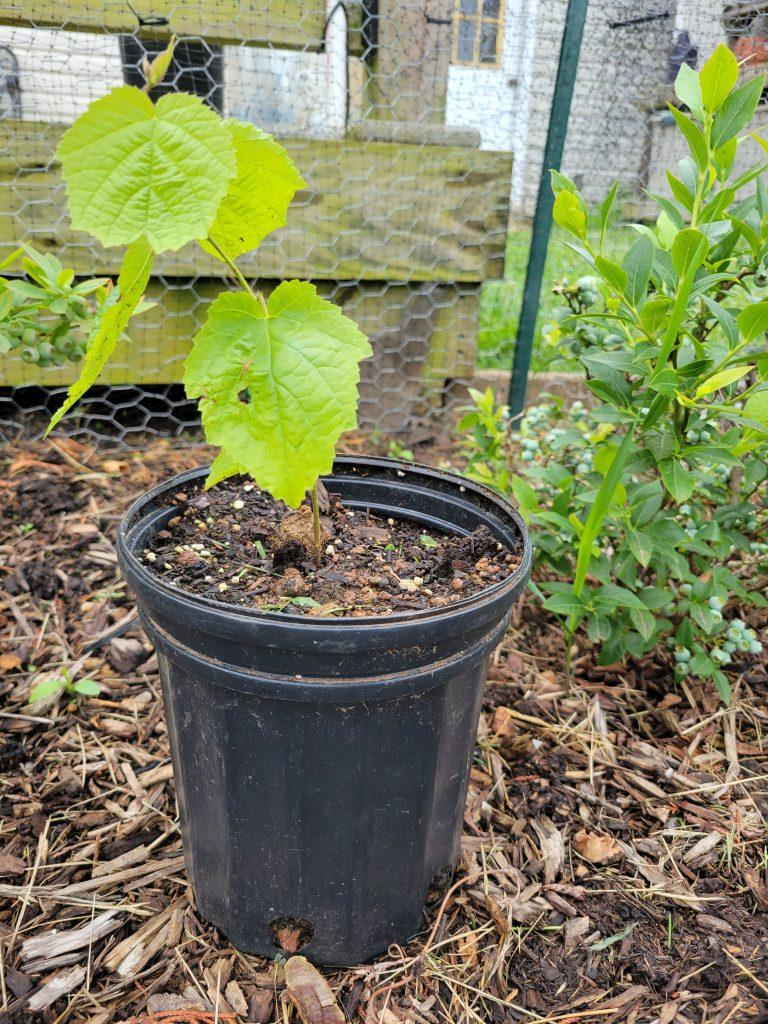 My baby hazelnut tree in a pot so I can keep it safe
