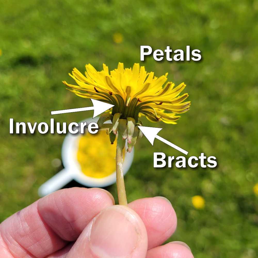 Dandelion flower parts: Petals vs. Involucre vs. Bracts