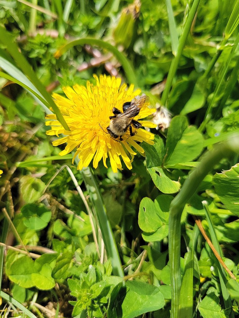 Dandelion flowers are an important early spring source of nutrition for pollinators like this bee