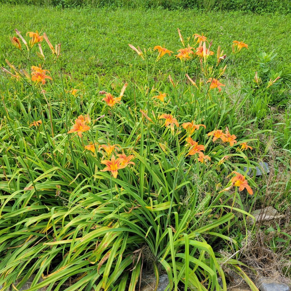 Daylilies in full bloom