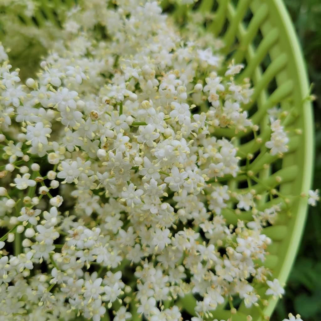 Elderflowers ready for fritters