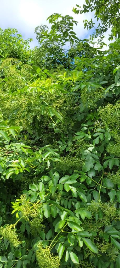 Elderberry abundance