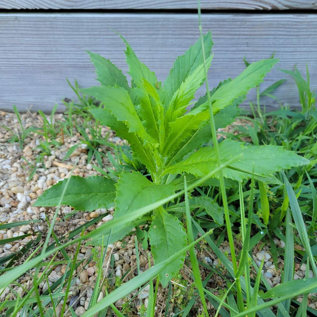 American burnweed in my garden path