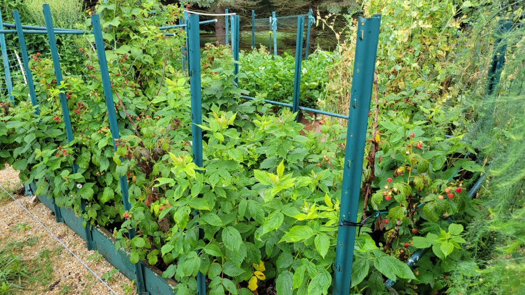 2021 Garden Bed of Double-Cropped Raspberries