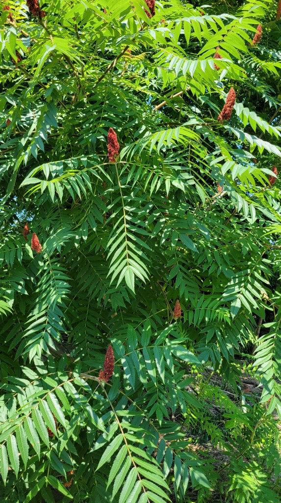 Staghorn sumac, finally within reach