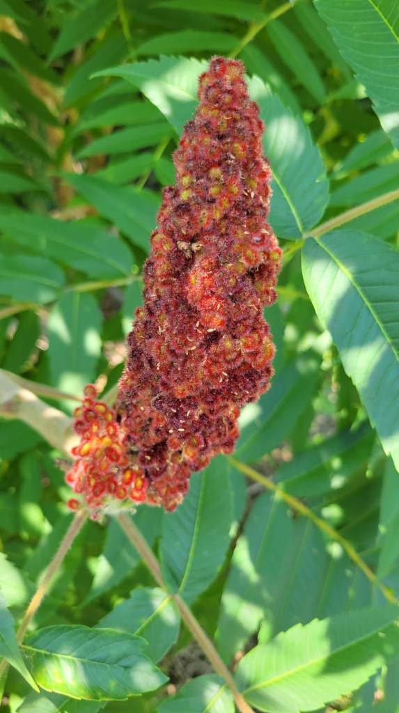 Close-up of a staghorn sumac drupe cluster