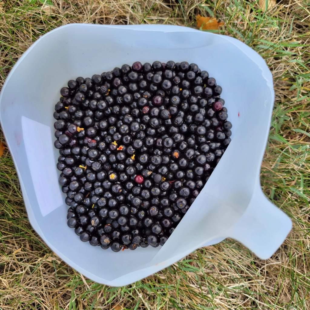 My 2021 black cherry harvest