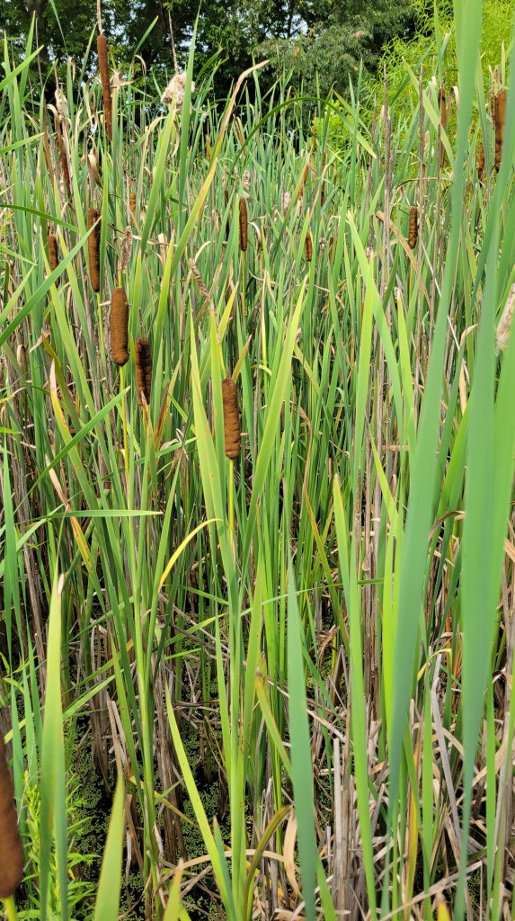 A mid-summer stand of cattails