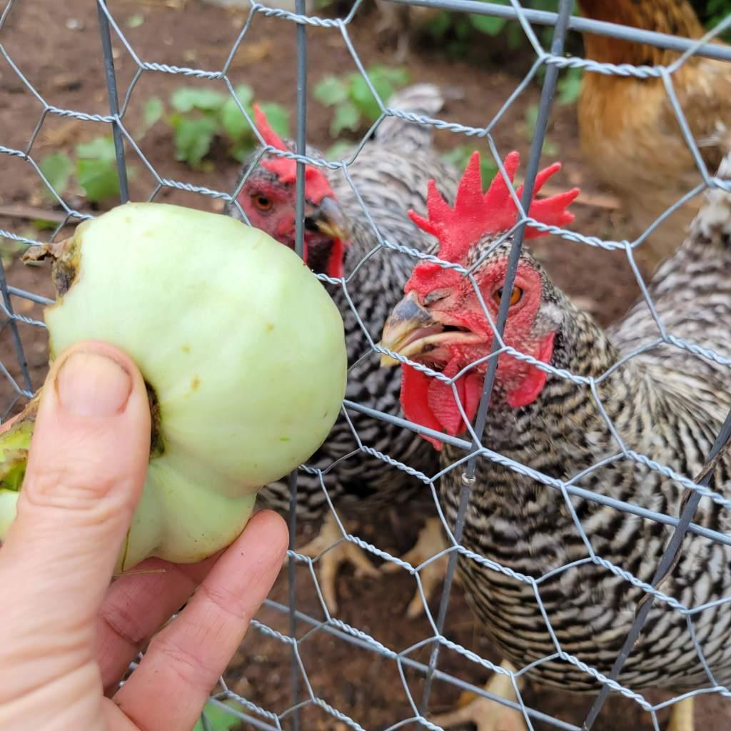My chickens love unripe tomatoes... alas