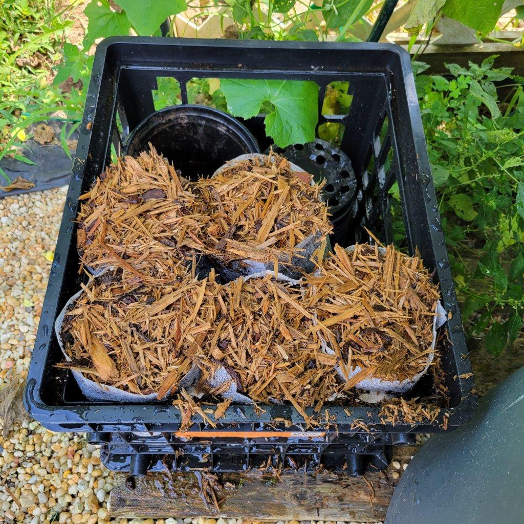 Pawpaw seeds awaiting next spring