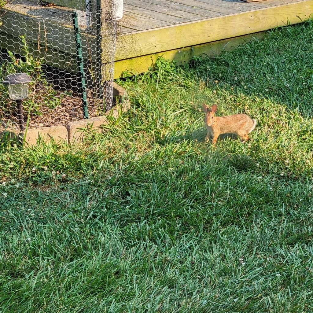 My foe... the Eastern Cottontail