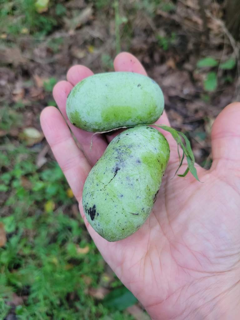Unripe pawpaws are green, hard, and lack the distinctive pawpaw aroma