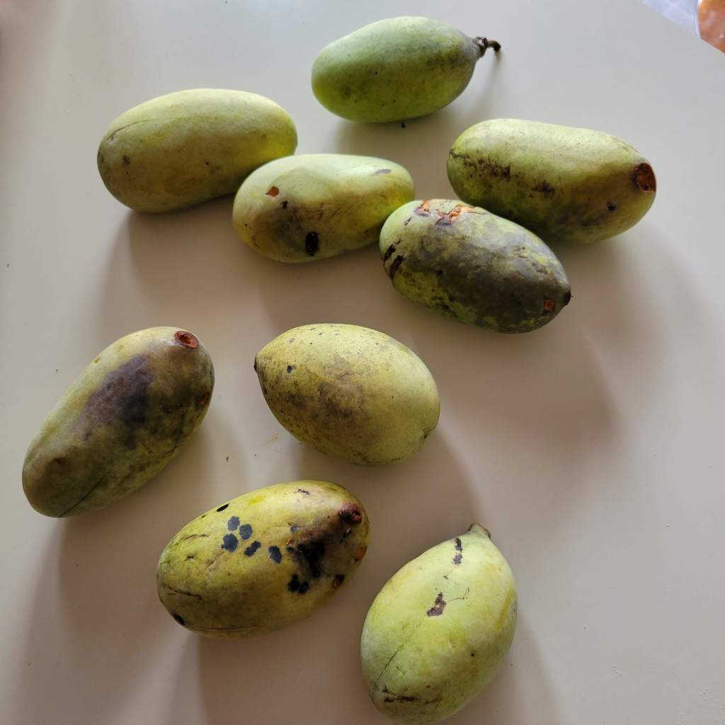 Ripe pawpaws are yellowish, bruised, soft and fragrant