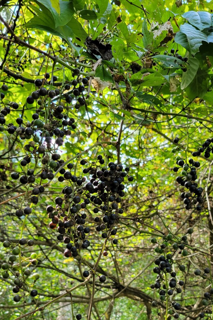 Wild grapes are starting to ripen in September