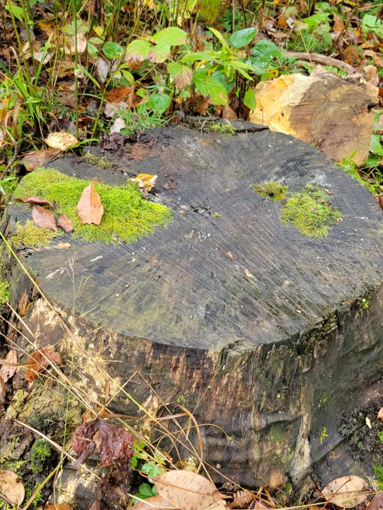 Possibly the remains of a black walnut